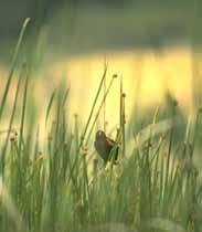 Wetland Rushes