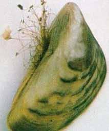 Alien Zebra Mussel